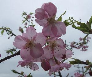 Sakura2010_5
