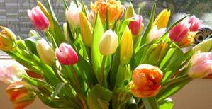 Tulip1302