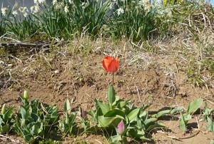 Tulip20150328