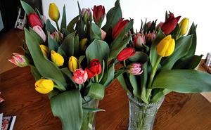 Tulip1902031