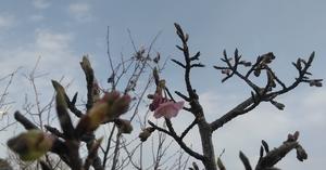 Sakura1902
