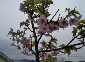Sakura190316